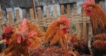 A poultry market in southwest China's Chengdu City, photo taken on January 20, 2008. (Getty Images)